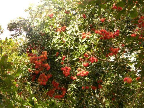 Những vườn trái cây không thể bỏ qua khi du lịch miền Tây